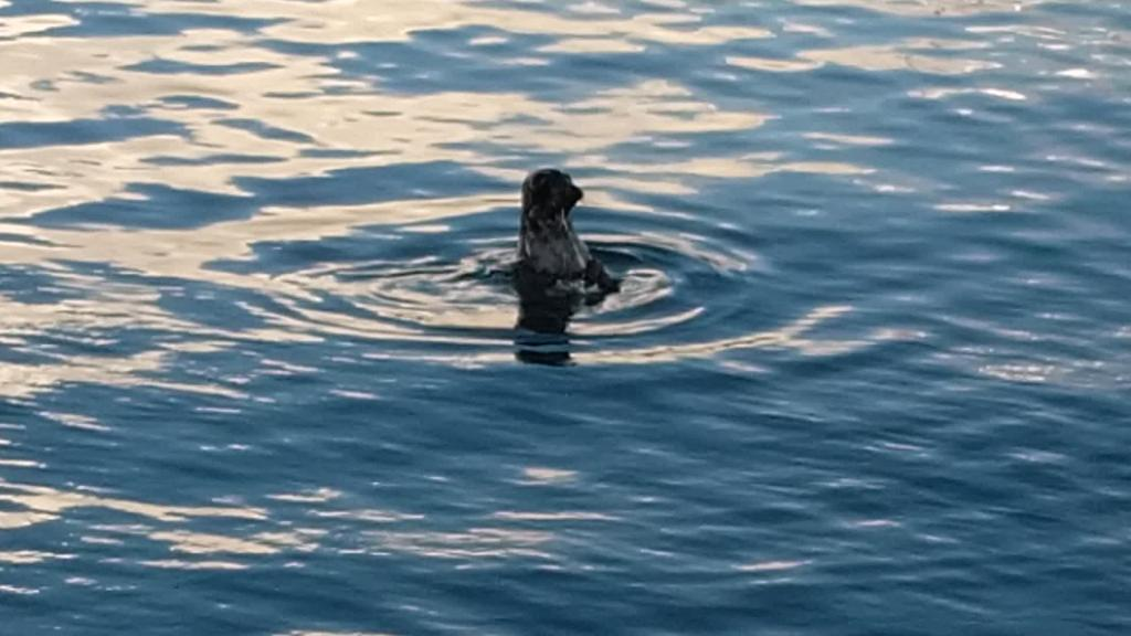 Foka bat agertu da Getariako portuan